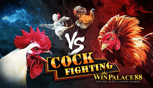 cock fighting, sabung ayam club388